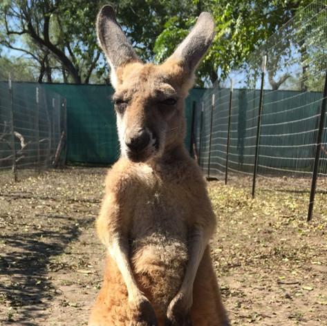Male Kangaroo