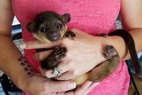 Kinkajou Baby Male DOB: 6/10/18 $3200