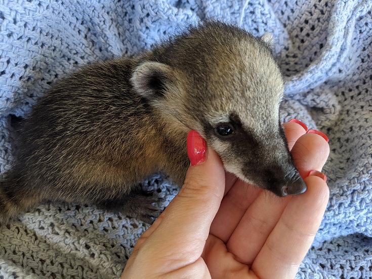 Jangle- Female Mountain Coati Baby $1500