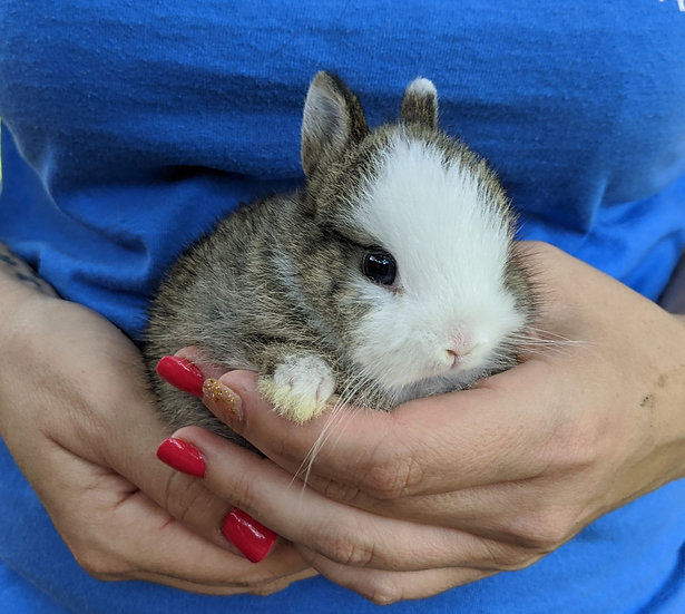 Baby Bunny Kodi- Tame PRICE-$60