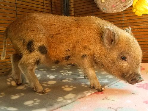 Lulu - Female Mini Pig $600