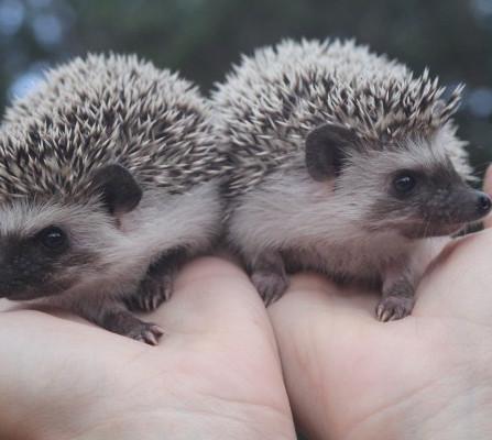 twinhedgehogs.jpg