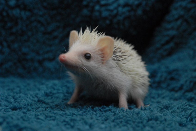 White Hedgie