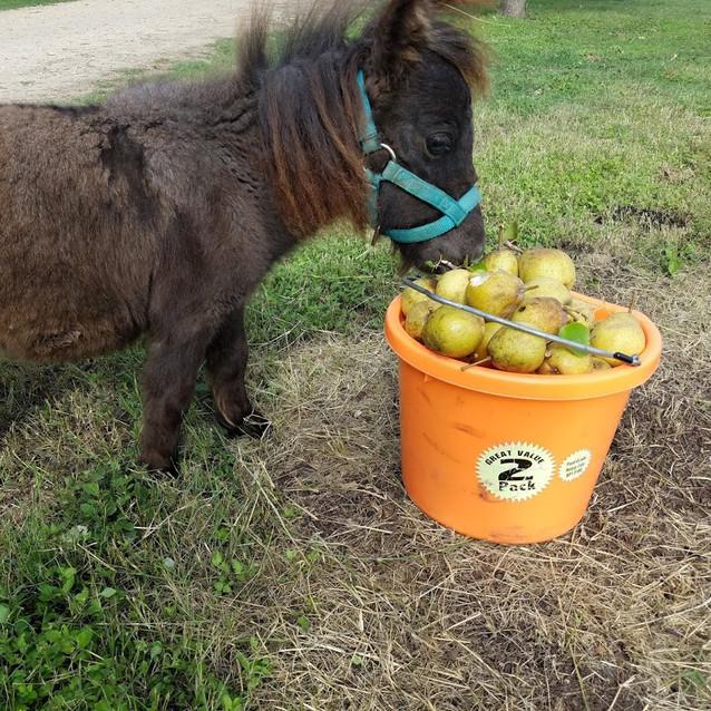 Mini Horse Fletcher