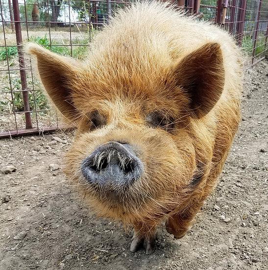 Pair Sweet Adult Pure KuneKune Pigs PRICE $800