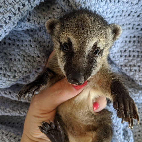 Montana- Female Mountain Coati Baby $1500