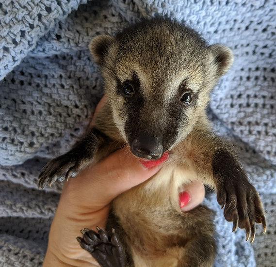 Montana- Female Mountain Coati Baby $1500