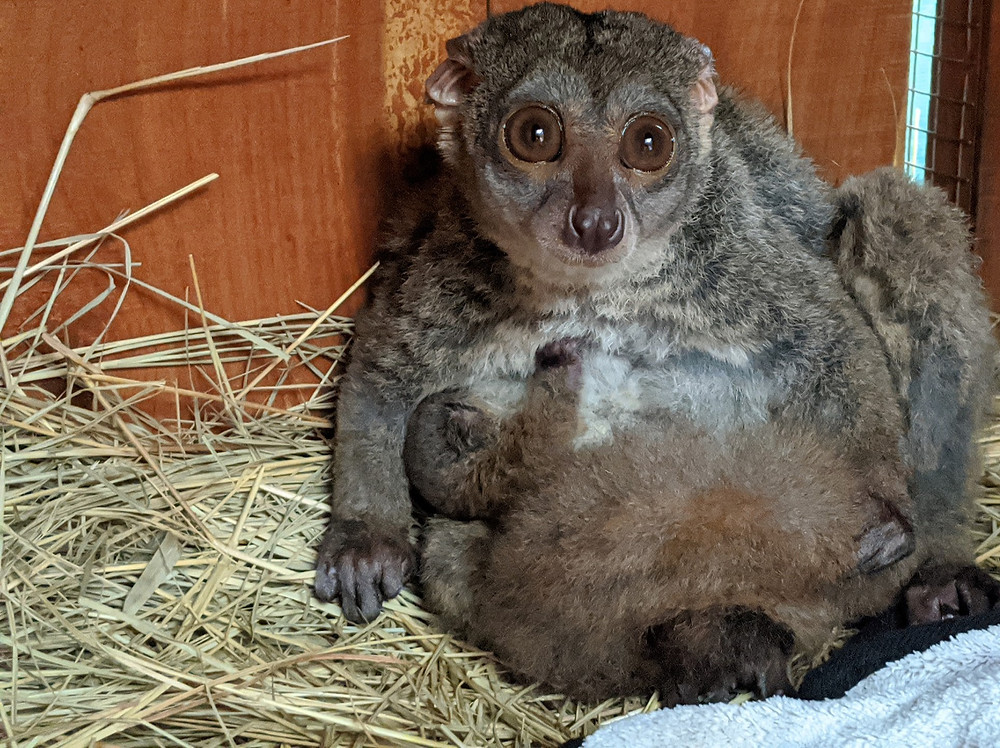 Mom normally caring for baby bushbaby, tucking under her chest