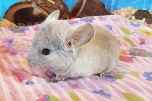 Polly -Female Chinchilla $350