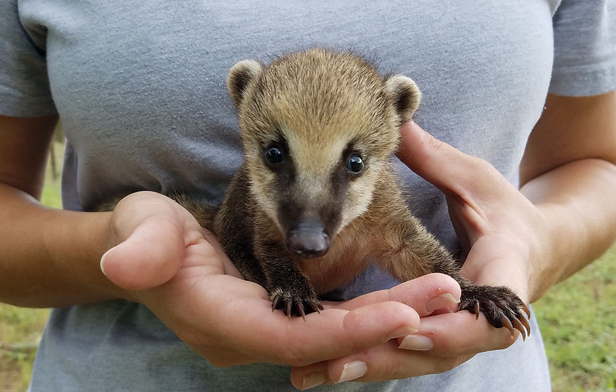 Male Mountain Coati Baby