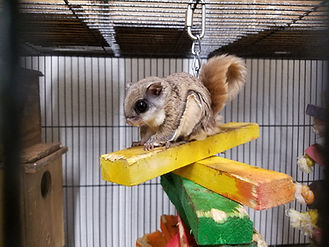 Flying Squirrel, Flying Squirrel Pet, Exotic Pet, Flying Squirrel Care