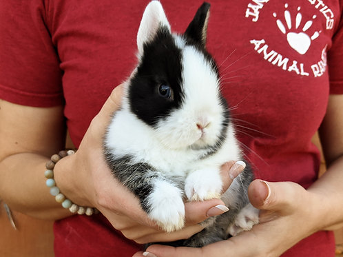 Bess - Netherland Dwarf  *blue eyes* PRICE - $75