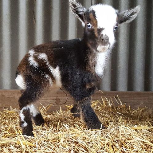 Jane - Doeling Pygmy goat - $400
