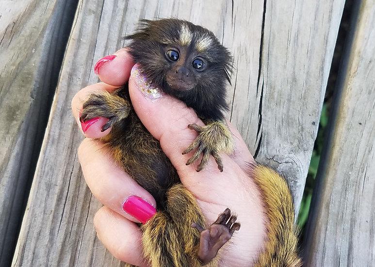 """""""Petrie"""" Monkey Male- $3900"""