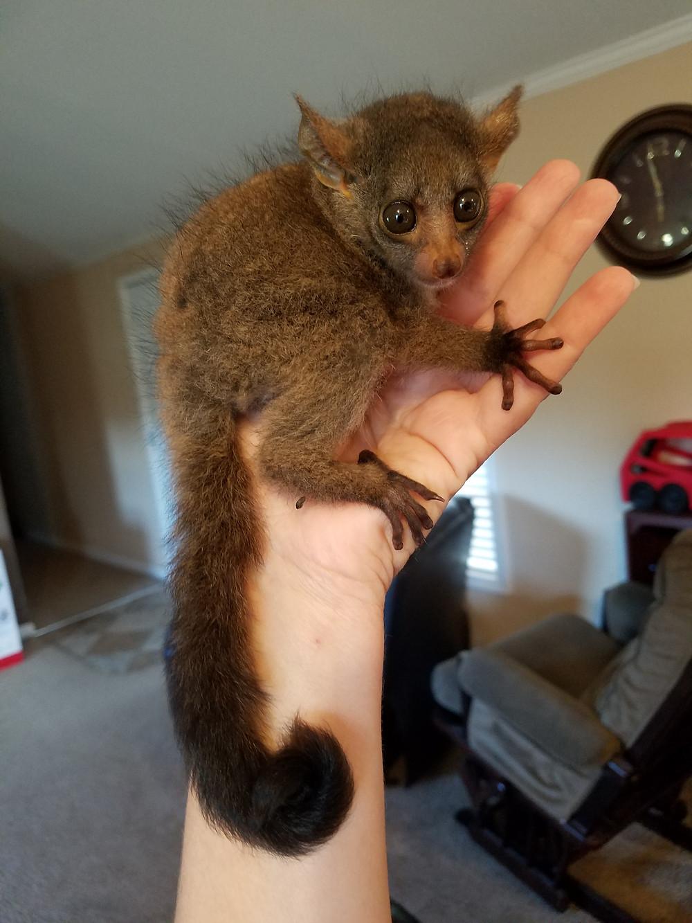Im a big boy now! 8 weeks old Bushbaby