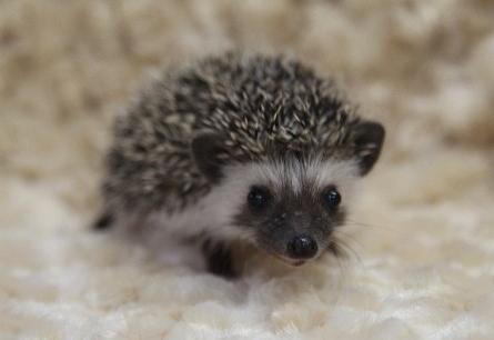Dark face hedgehog
