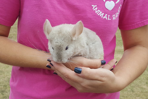 Chai - Chinchilla Female $225