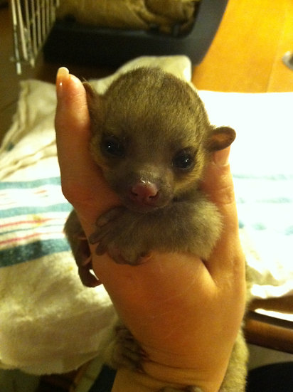 Kinkajou Baby Male DOB: 3/12/17