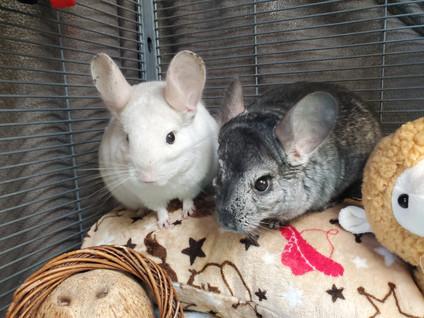 Chinchilla In Depth Pet Care