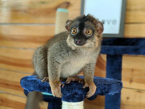 Matiz - Brown Lemur Male DOB: 5/6/20  Price: $3,500