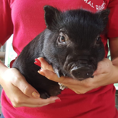 Bradley - Male Mini Pig $50