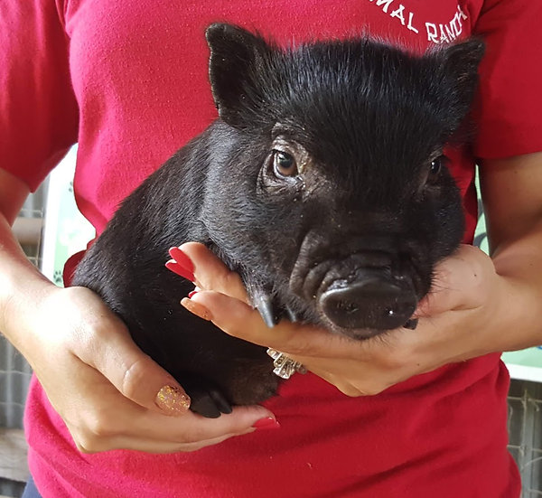 Bradley - Male Mini Pig $50