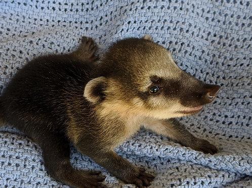 Pibbs- Male Mountain Coati Baby $1000