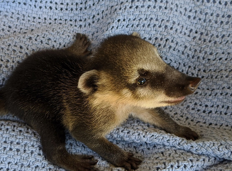 Pibbs- Male Mountain Coati Baby $1000