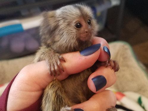 Marmoset Male Baby 10/3/19