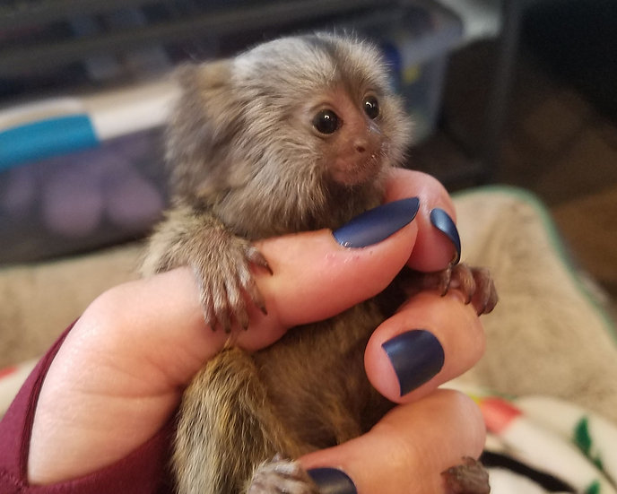 Marmoset Male Baby 10/3/19