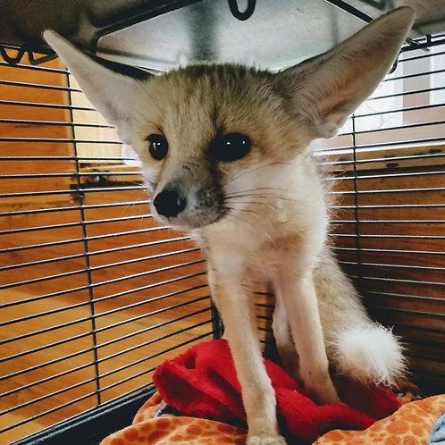 Fox Kit- Female $3000