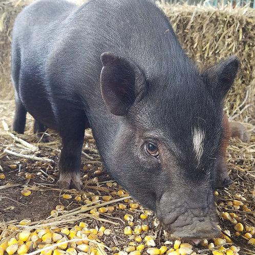 Lizzy - Female Mini Pig $50