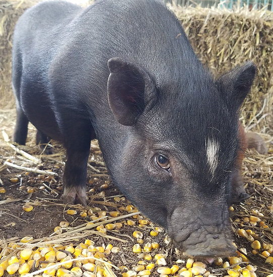 Lizzy - Female Mini Pig $50