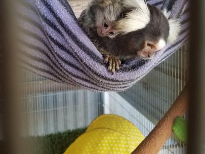 Marmoset Monkeys- The Basics in Pet care