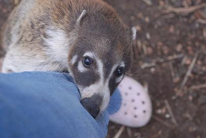 Coatimundi, Coati, Coatimundi Breeder, Coati Breeder, Coati Care, Coati pets for sale in texas