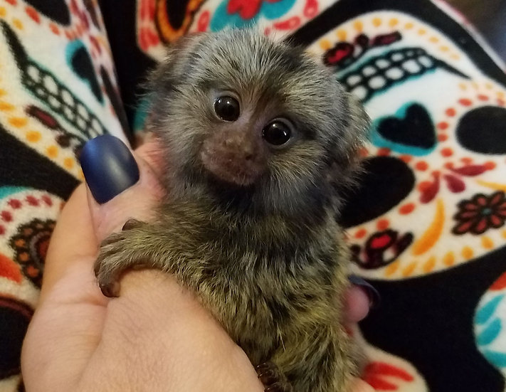 Marmoset Female Baby 9/29/19
