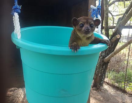 Janda Exotics, Janda Exotics Donations, Donations, Cute Animals, Exotic Animals, Exotic Pets, Farm Animals, Kinkajou Picture, Baby Kinkajou