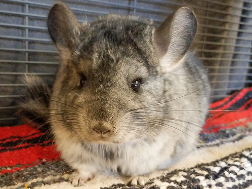Dilly - Female Chinchilla $300