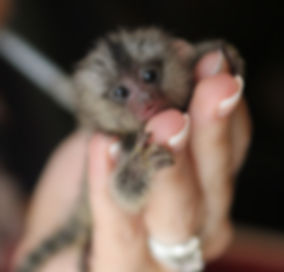 Marmoset Monkey For sale, marmoset picture, marmoset baby, monkey for sale, monkey in texas, finger monkey for sale, marmoset, baby marmoset, cute animal, exotic animal, exotic pet, marmoset breeder, care for marmoset