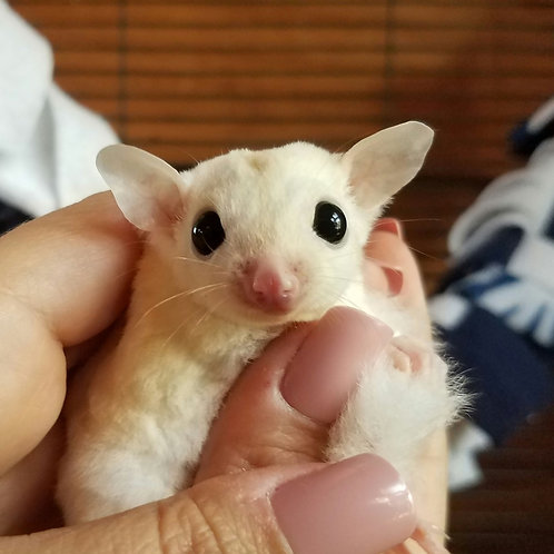 Stevie - Leucistic Male PRICE $450