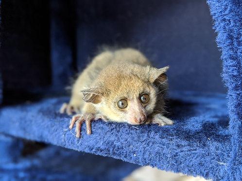 Ozi - Baby Bushbaby Male