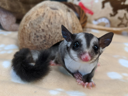 Sugar Glider  In-Depth Pet Care