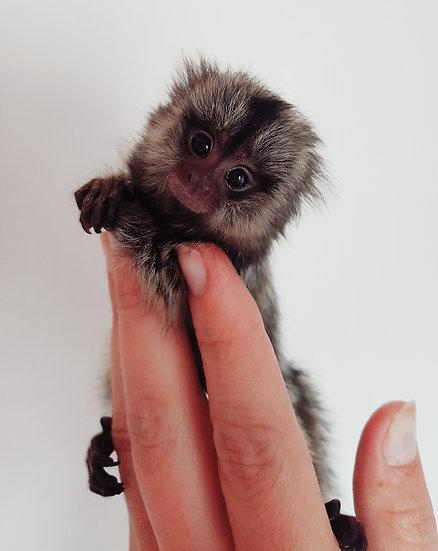 Marmoset Baby Male $3900
