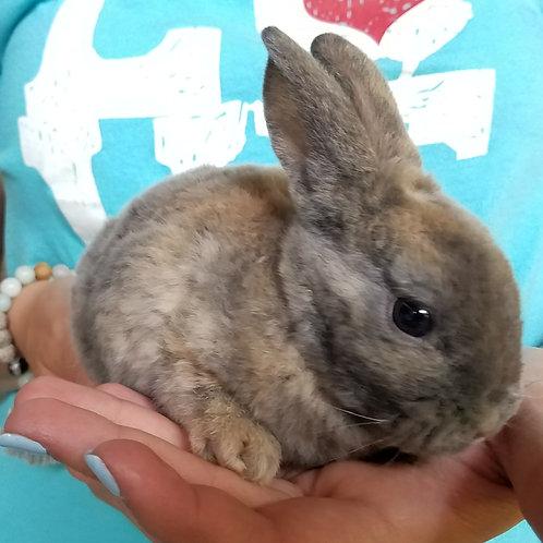 "Mini Rex Rabbit Female ""Mitsy"""