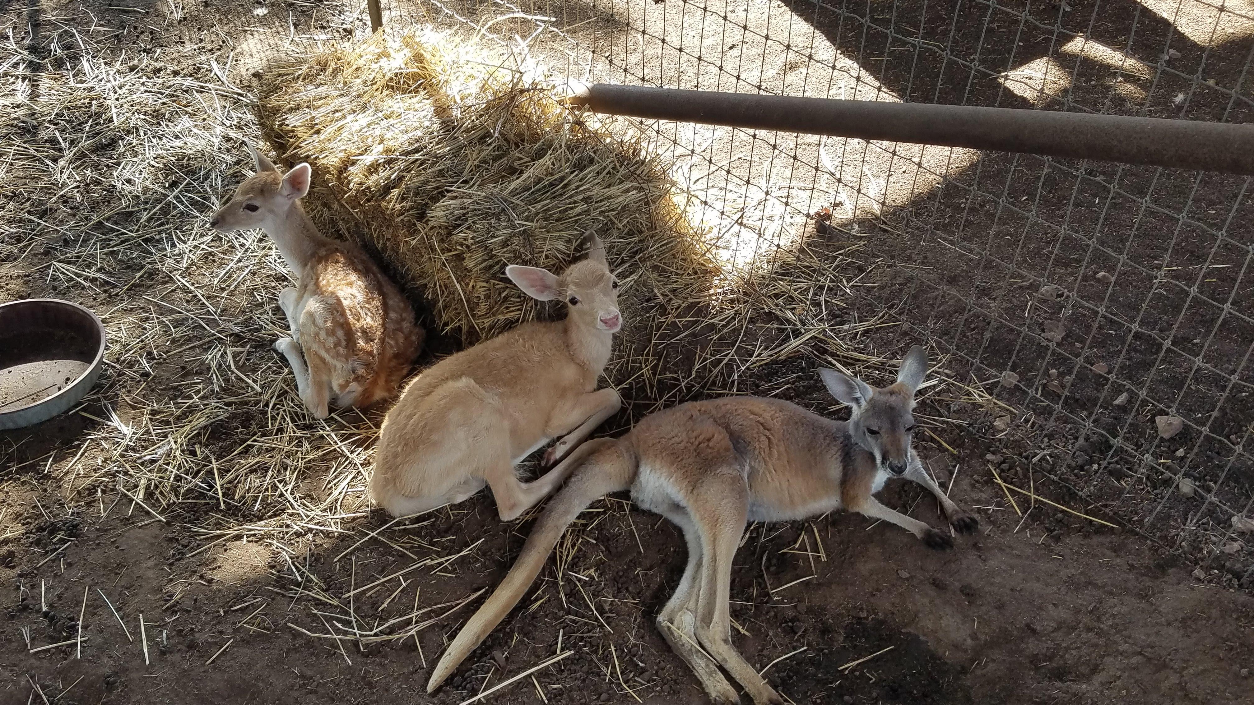 Kangaroo and Deer Friends