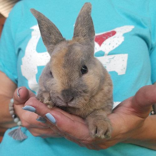 "Mini Rex Rabbit Female ""Gem"""