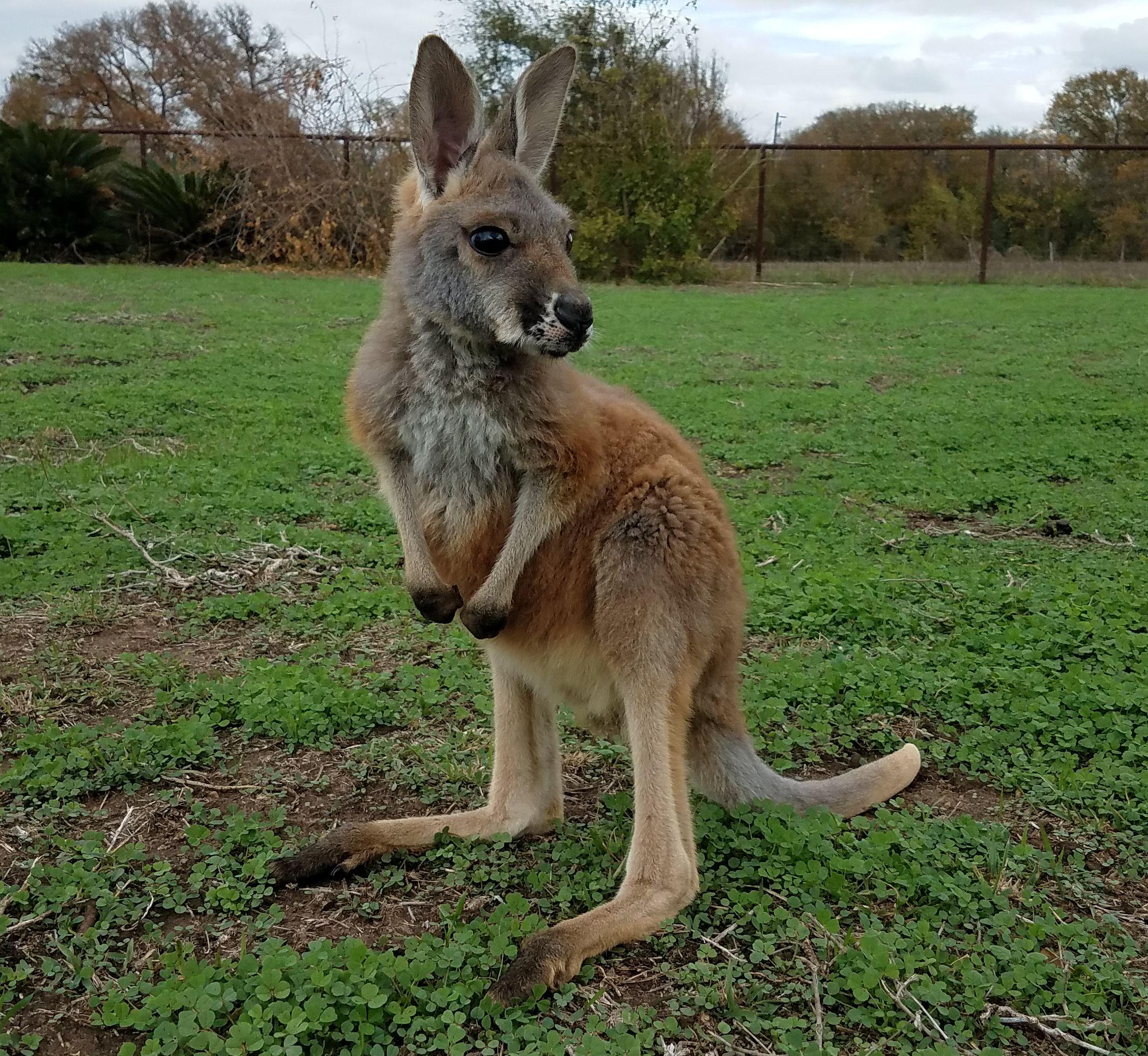 Baby Red Kangaroo