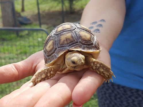 Sulcata Tortoise Hatchling- $150