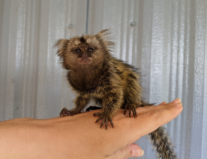 Peanut - Marmoset Male PRICE $5500