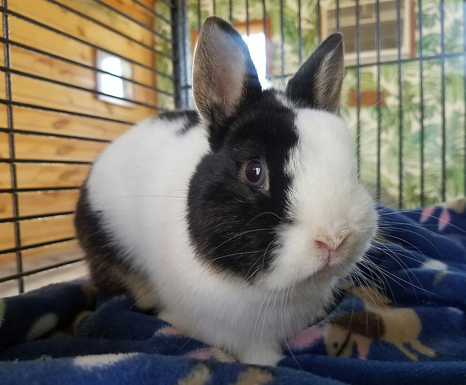 Bets   Netherland Dwarf Male PRICE - $100